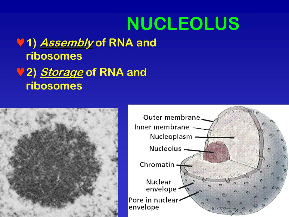 NUCLEOLUS 1) Assembly of RNA and ribosomes