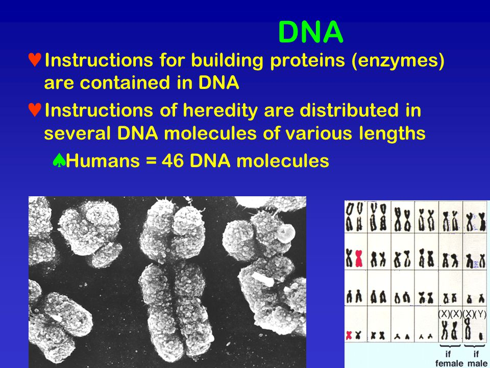 DNA Instructions for building proteins (enzymes) are contained in DNA