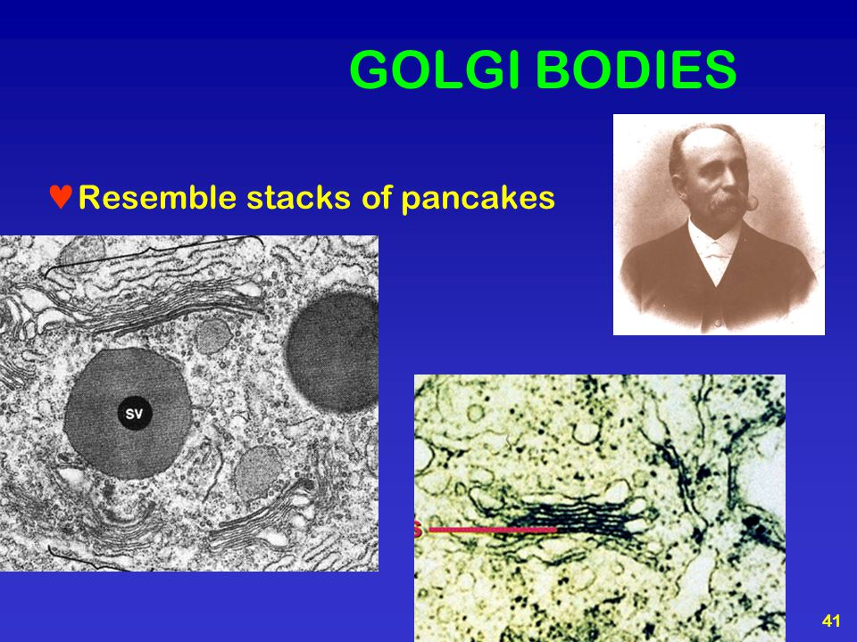 GOLGI BODIES Resemble stacks of pancakes
