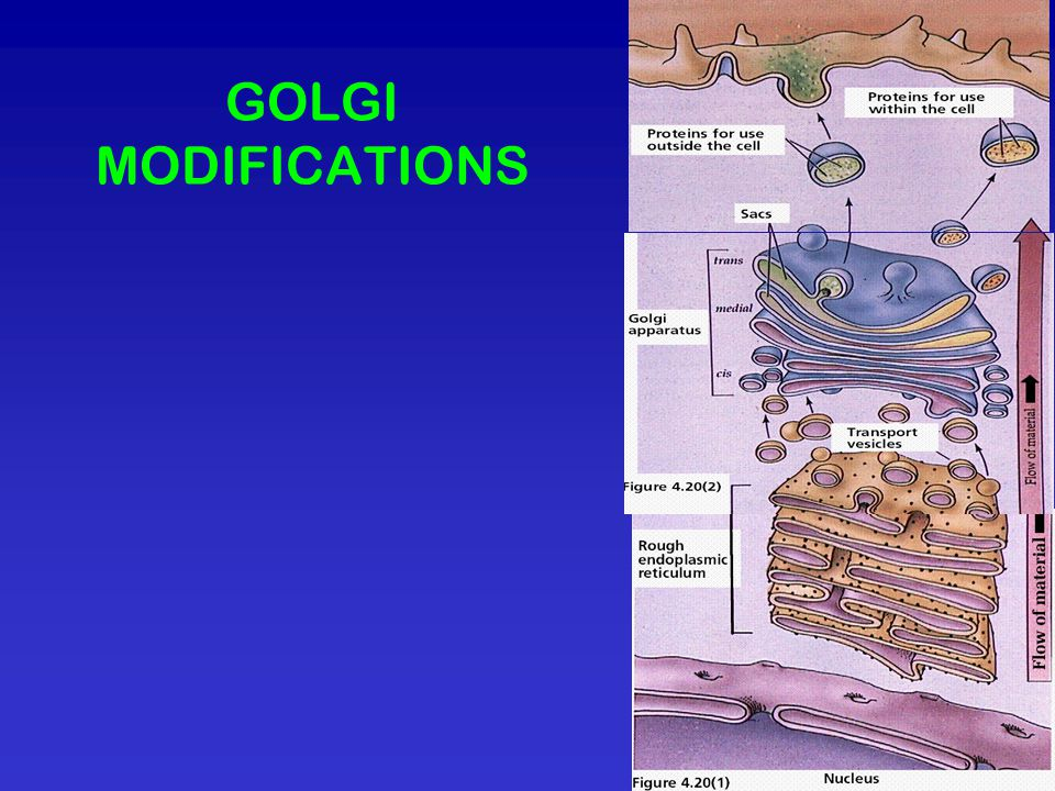 GOLGI MODIFICATIONS