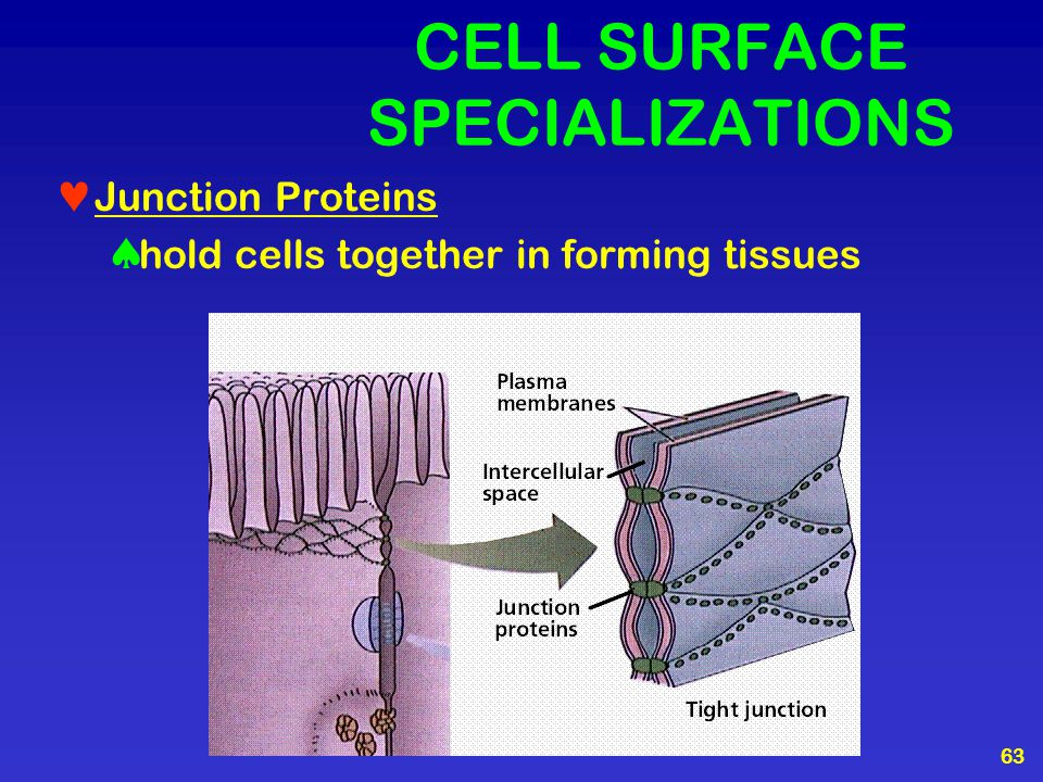 CELL SURFACE SPECIALIZATIONS