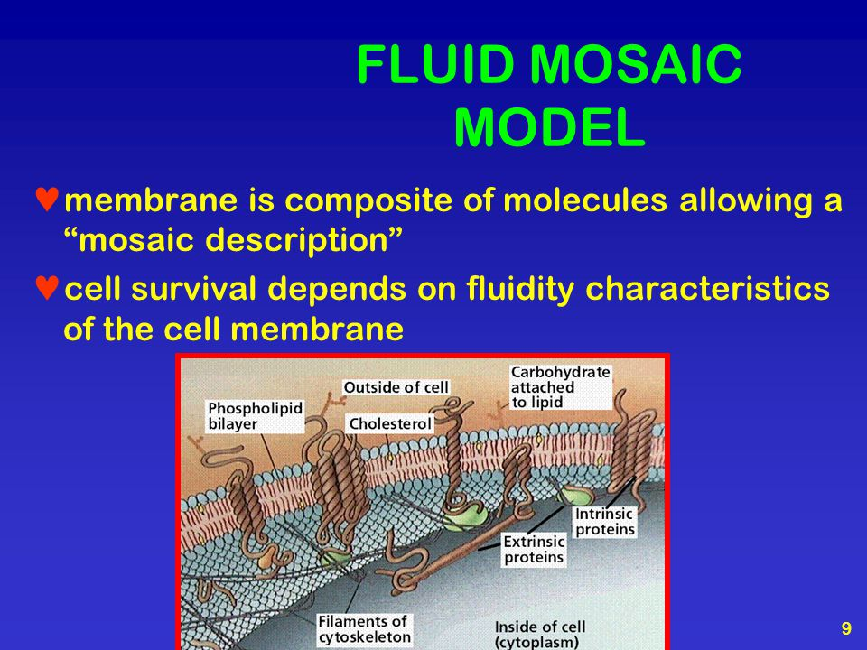 FLUID MOSAIC MODEL membrane is composite of molecules allowing a mosaic description