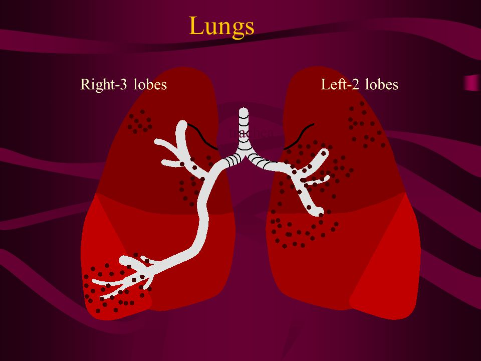 Lungs Right-3 lobes Left-2 lobes trachea
