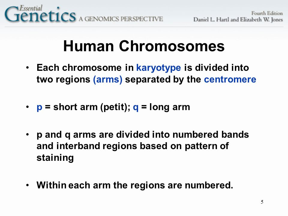 Human Chromosomes Each chromosome in karyotype is divided into two regions (arms) separated by the centromere.