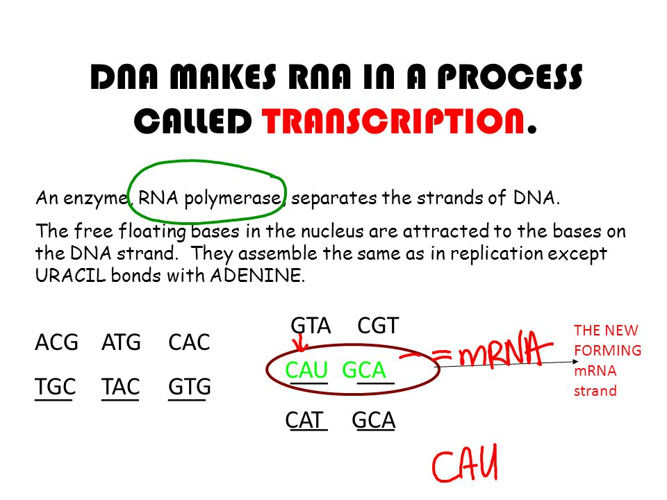 DNA MAKES RNA IN A PROCESS CALLED TRANSCRIPTION.