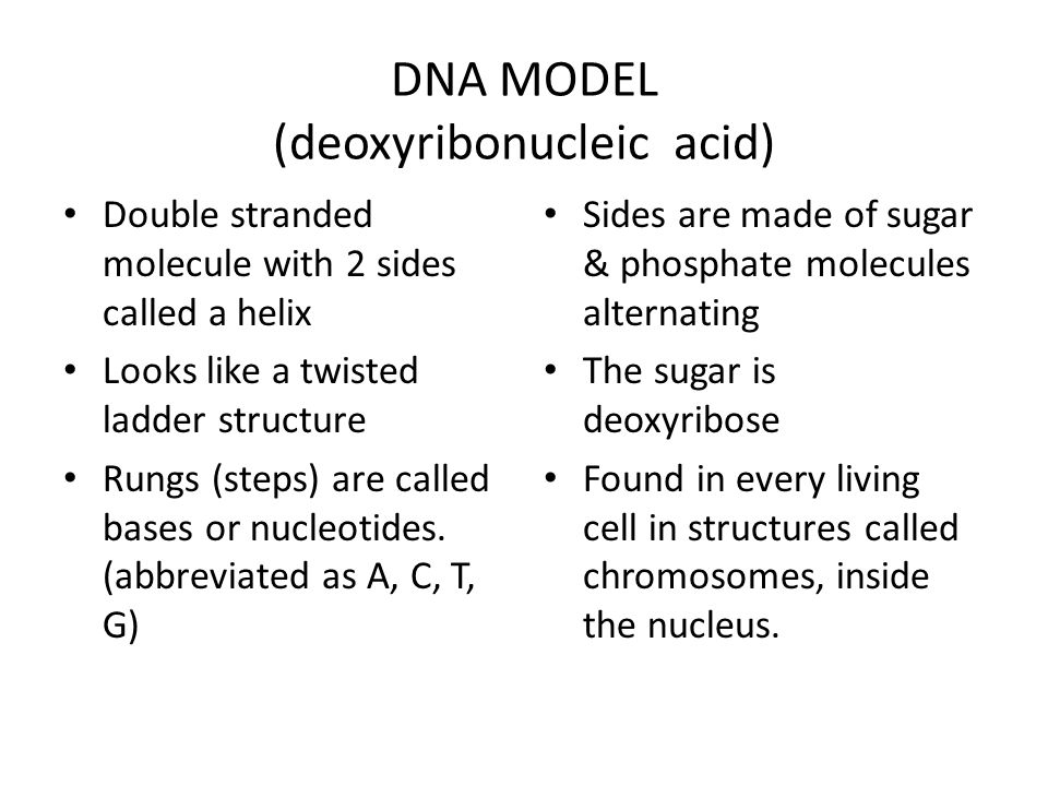 DNA MODEL (deoxyribonucleic acid)