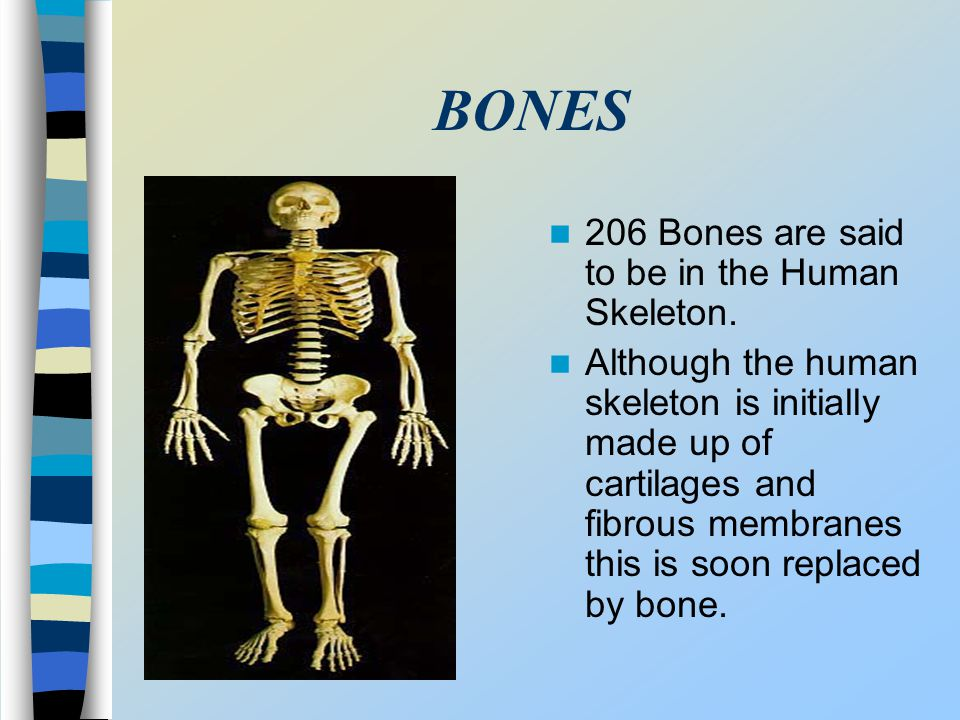 BONES 206 Bones are said to be in the Human Skeleton.
