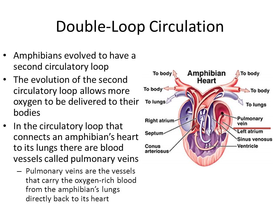 Double-Loop Circulation