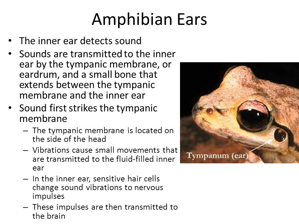 Amphibian Ears The inner ear detects sound