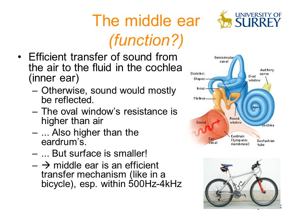 The middle ear (function )