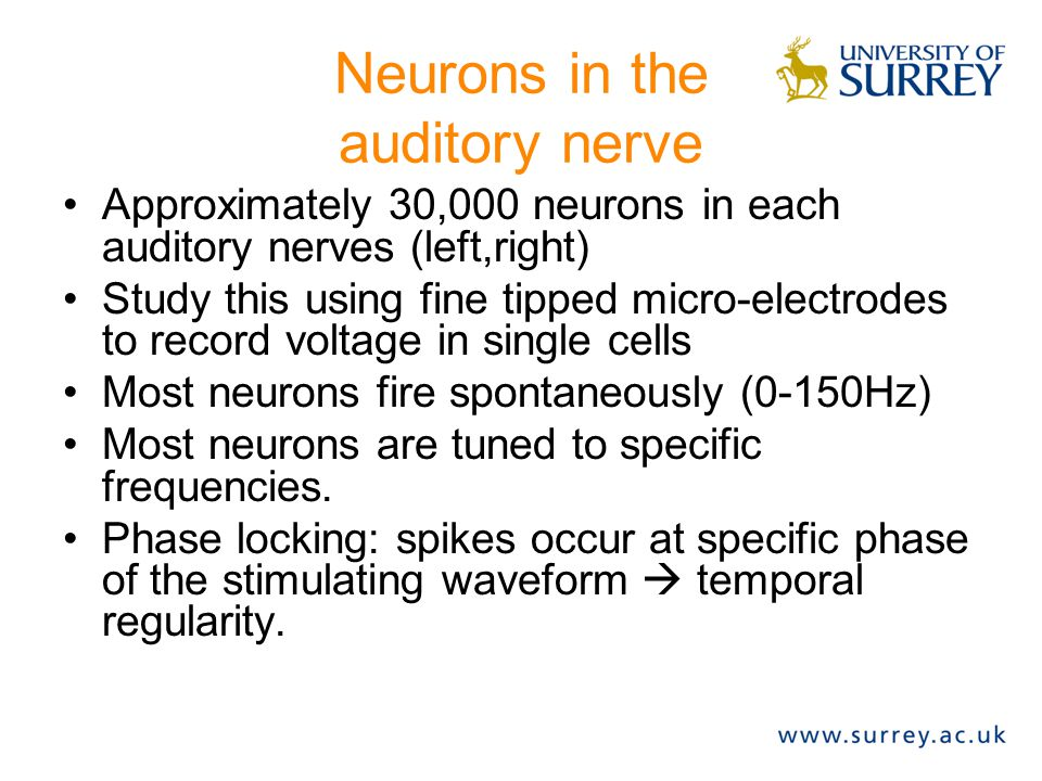 Neurons in the auditory nerve