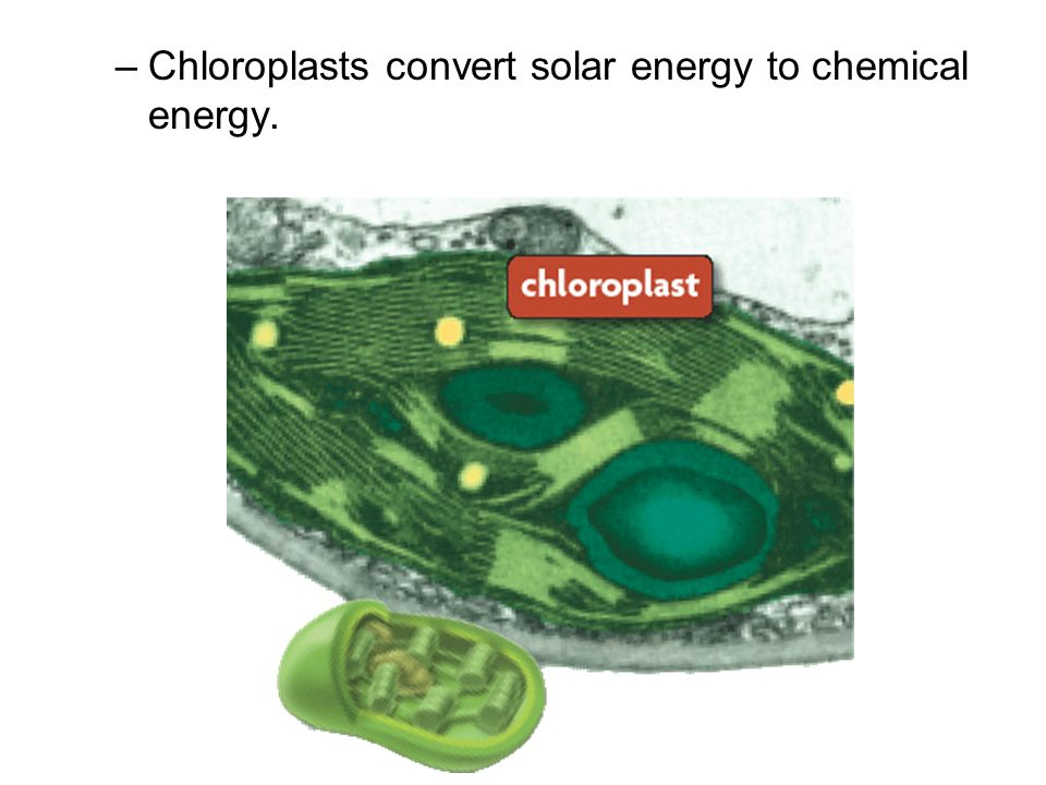 Chloroplasts convert solar energy to chemical energy.
