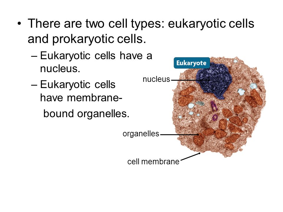 There are two cell types: eukaryotic cells and prokaryotic cells.