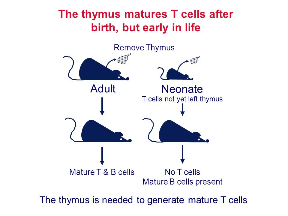 The thymus matures T cells after