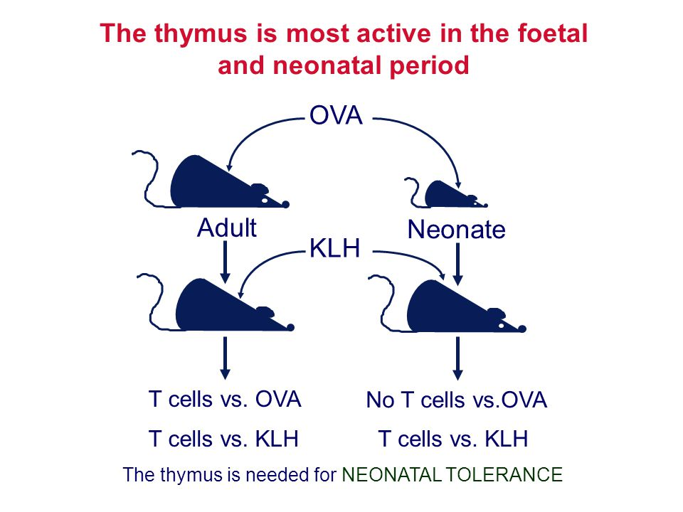 The thymus is most active in the foetal