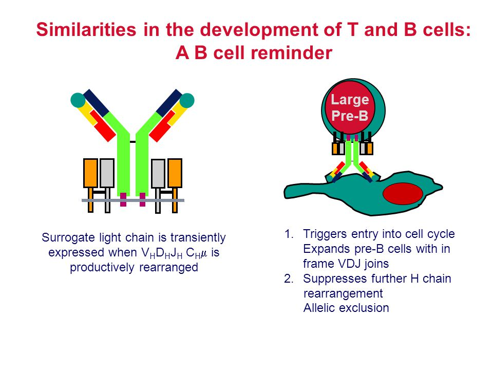 Similarities in the development of T and B cells: