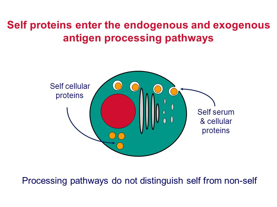 Self proteins enter the endogenous and exogenous