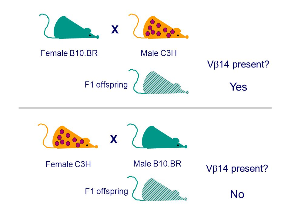 X Yes X No V14 present V14 present Male C3H Female B10.BR