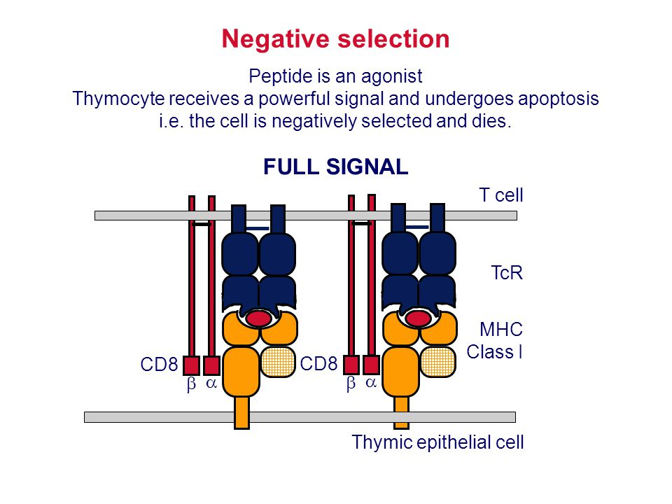 Negative selection FULL SIGNAL Peptide is an agonist