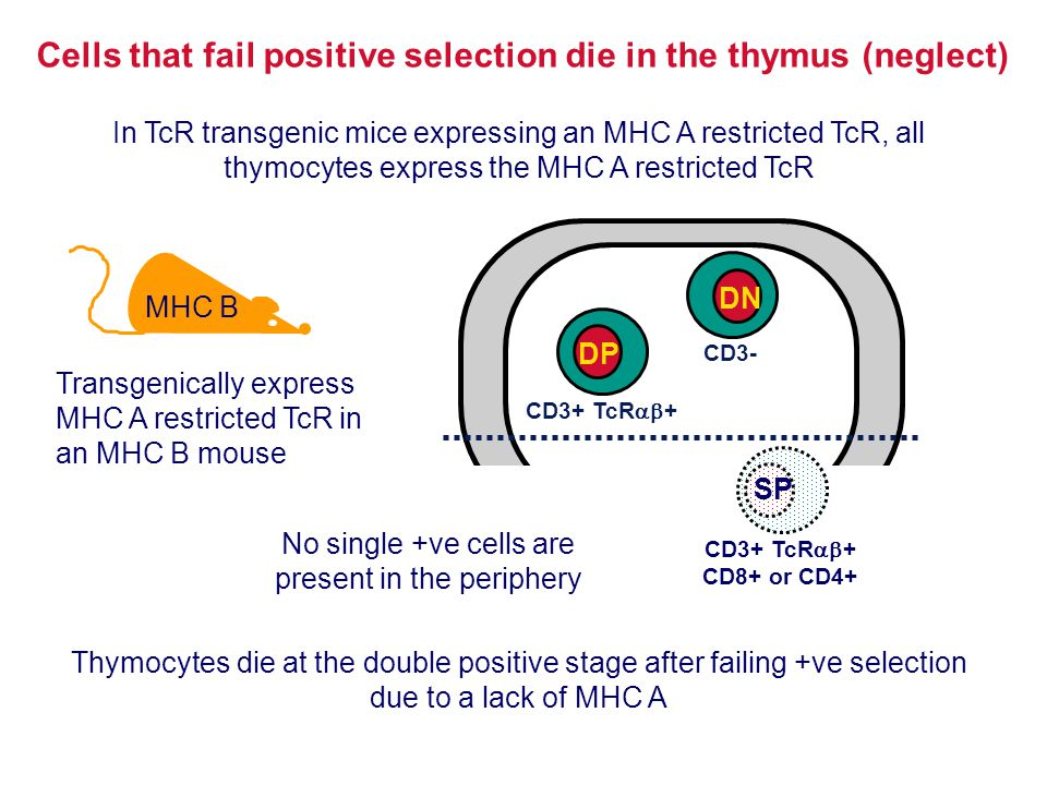 Cells that fail positive selection die in the thymus (neglect)