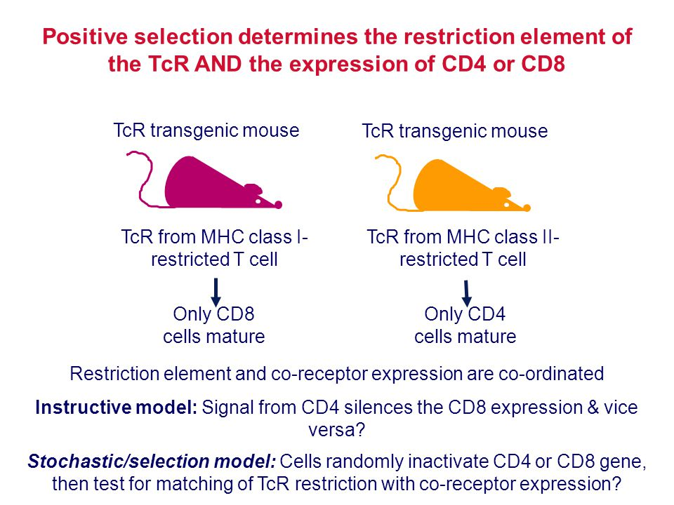 Restriction element and co-receptor expression are co-ordinated