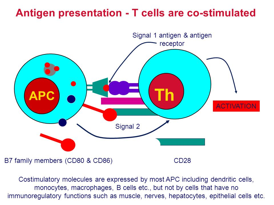 Antigen presentation - T cells are co-stimulated