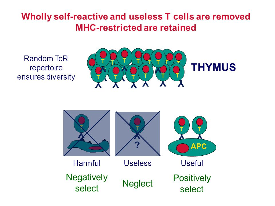 Wholly self-reactive and useless T cells are removed MHC-restricted are retained