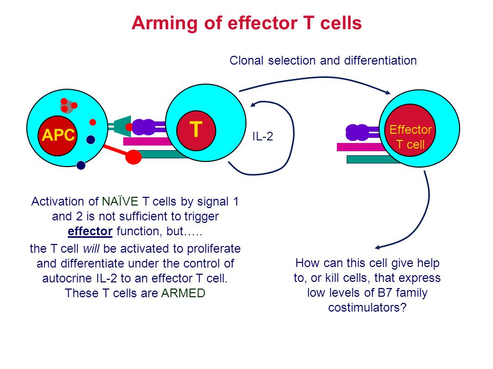 Arming of effector T cells