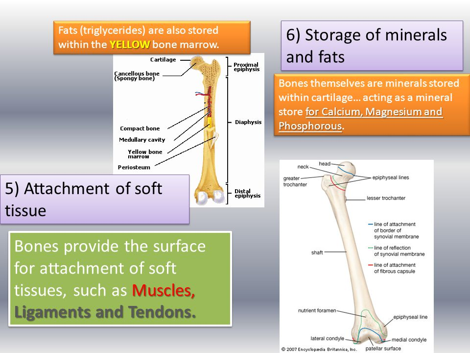 6) Storage of minerals and fats