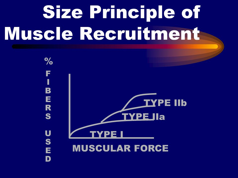 Size Principle of Muscle Recruitment