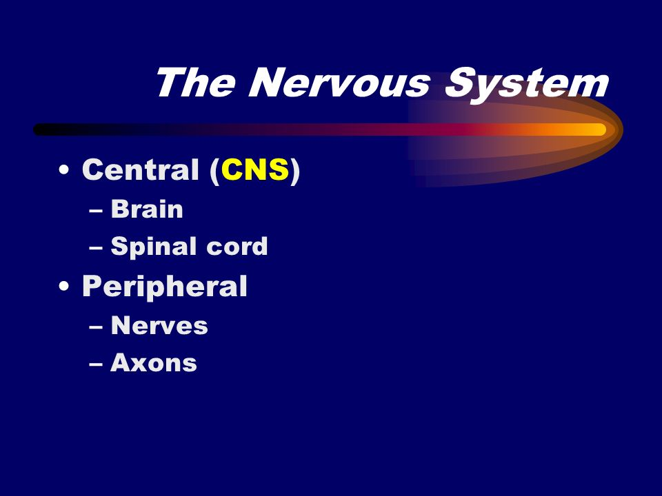 The Nervous System Central (CNS) Peripheral Brain Spinal cord Nerves
