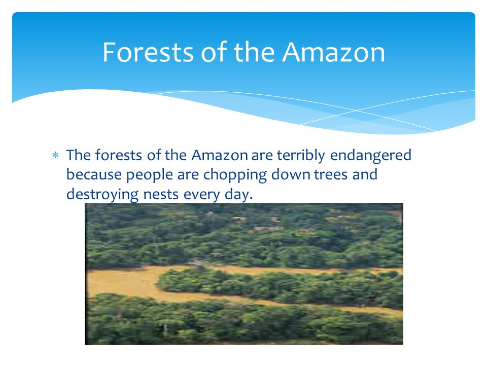 Forests of the Amazon The forests of the Amazon are terribly endangered because people are chopping down trees and destroying nests every day.