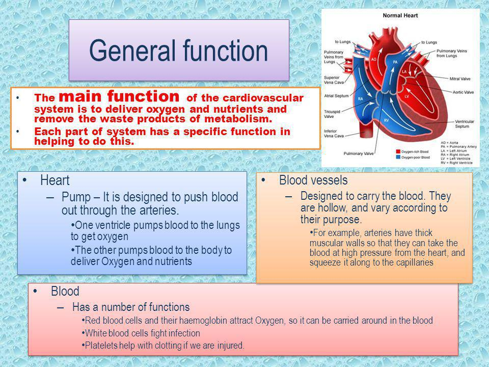 The function of the Cardiovascular system - ppt video online download