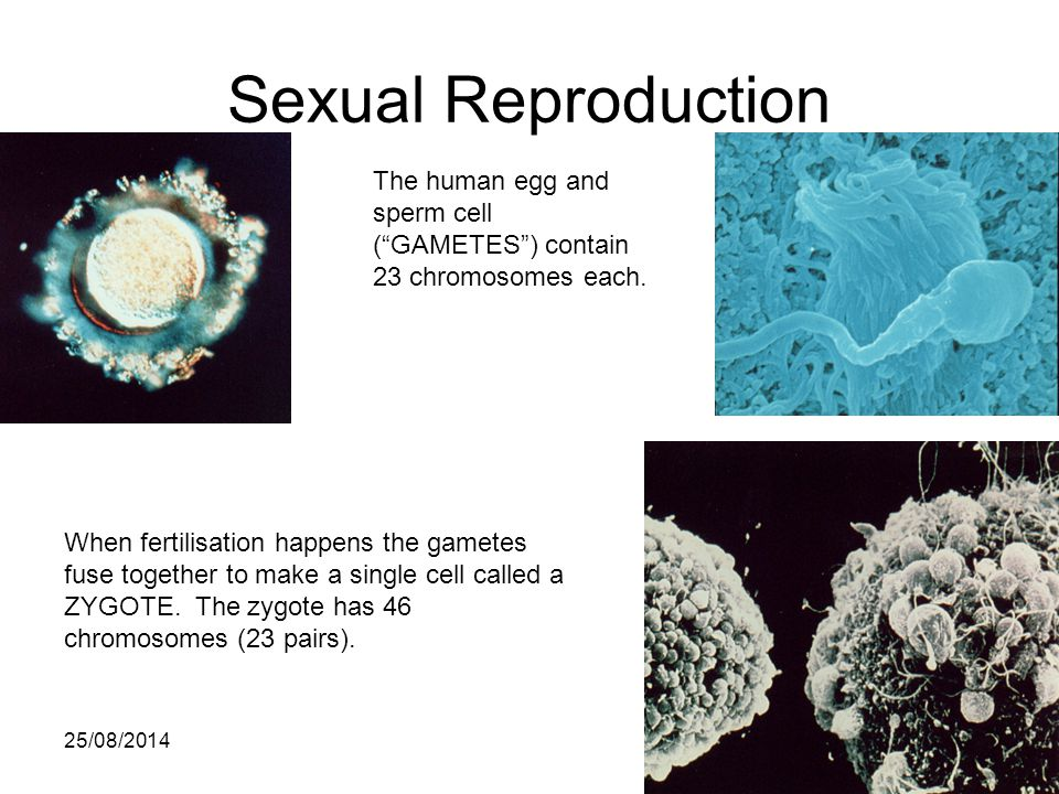 Sexual Reproduction The human egg and sperm cell ( GAMETES ) contain 23 chromosomes each.
