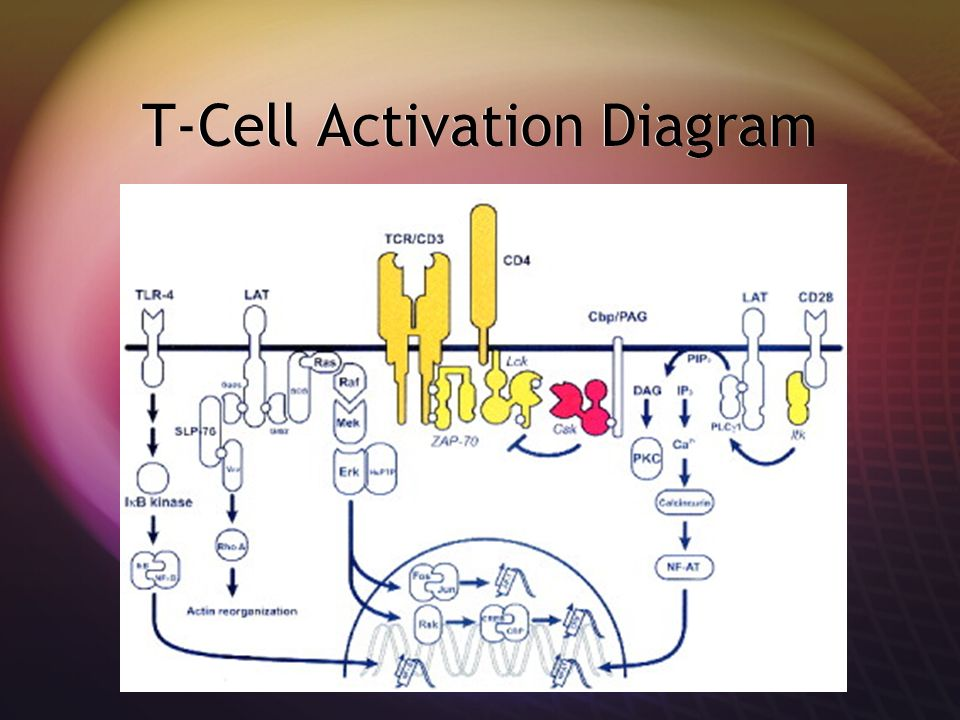 T-Cell Activation Diagram