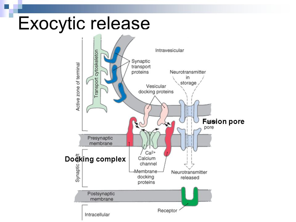 Exocytic release Fusion pore Docking complex
