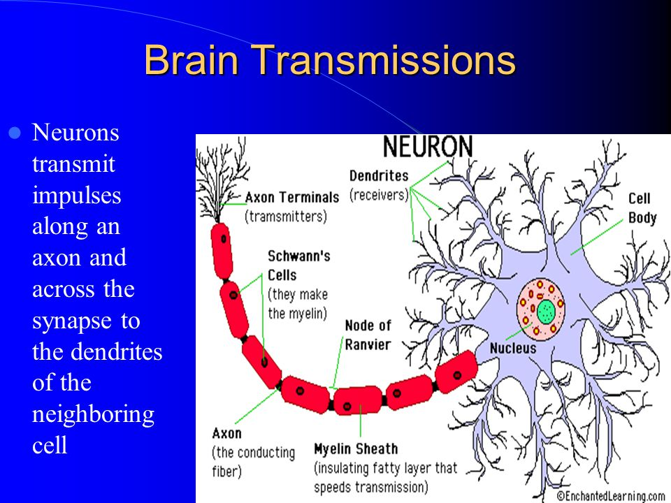 Brain Transmissions Neurons transmit impulses along an axon and across the synapse to the dendrites of the neighboring cell.