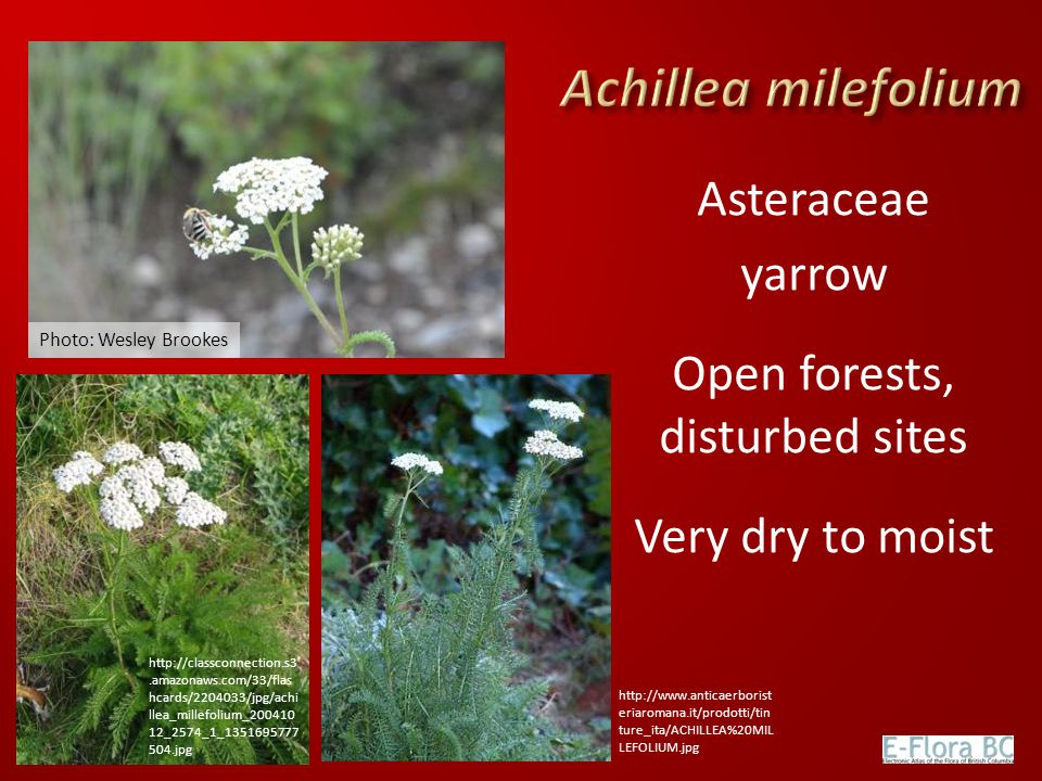 Asteraceae yarrow Open forests, disturbed sites Very dry to moist