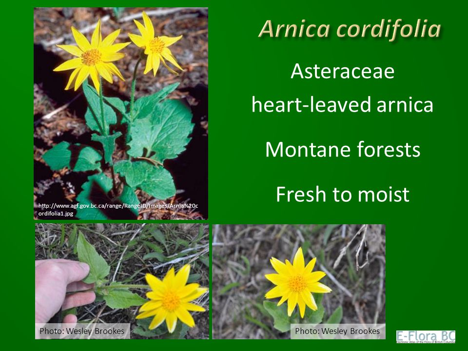 Arnica cordifolia Asteraceae heart-leaved arnica Montane forests