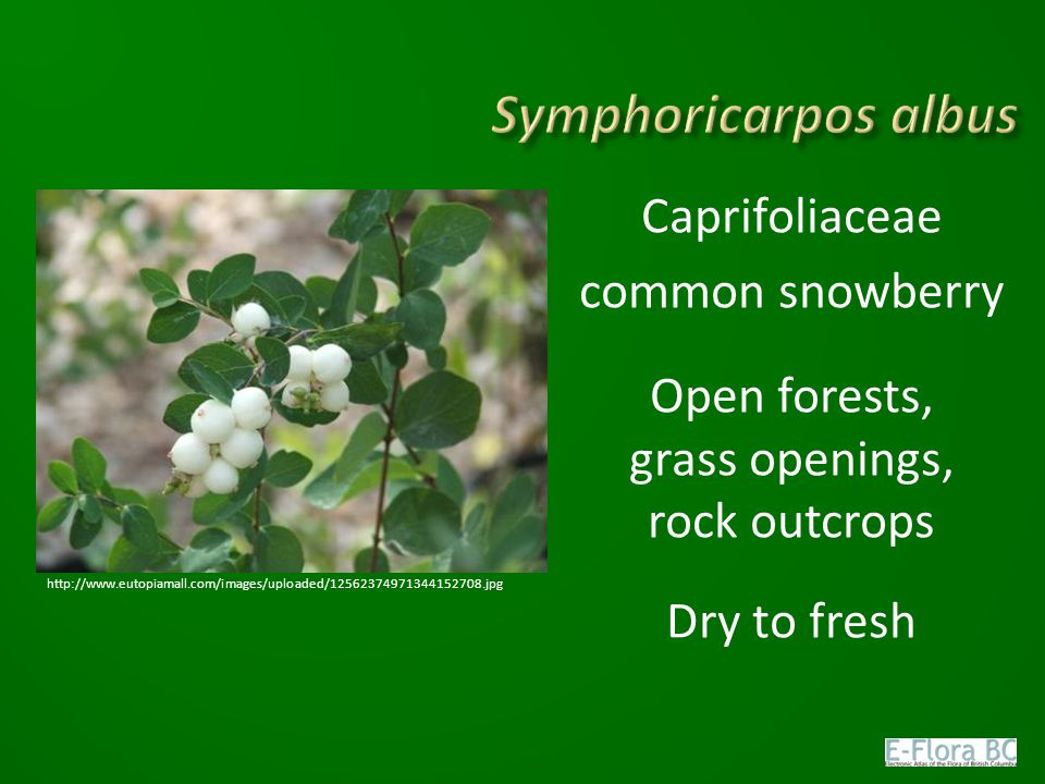 Symphoricarpos albus Caprifoliaceae common snowberry Open forests, grass openings, rock outcrops Dry to fresh
