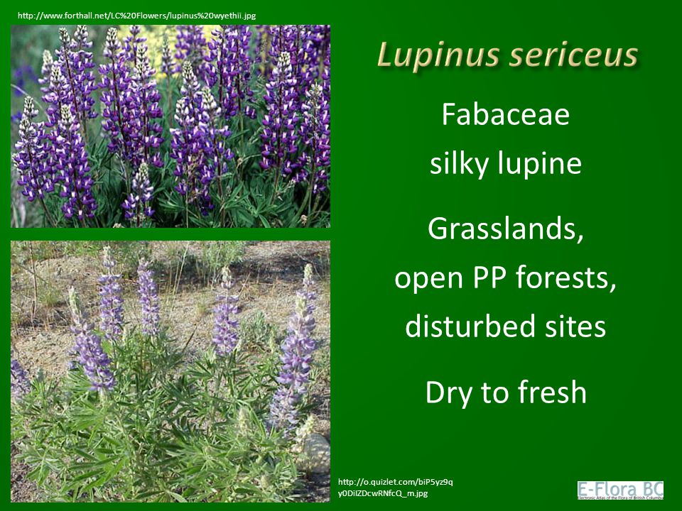 Lupinus sericeus Fabaceae silky lupine Grasslands, open PP forests,