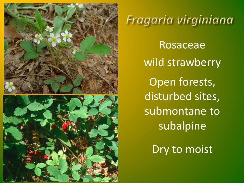 Fragaria virginiana Rosaceae wild strawberry Open forests, disturbed sites, submontane to subalpine Dry to moist