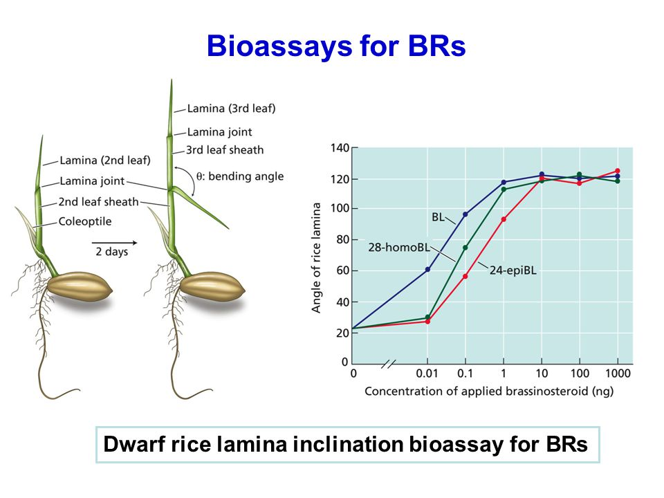 Bioassays for BRs Dwarf rice lamina inclination bioassay for BRs