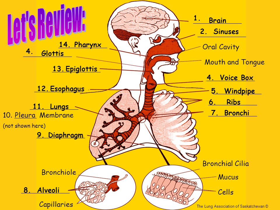 Let s Review: 1. Brain 2. Sinuses 14. Pharynx Oral Cavity 4. Glottis