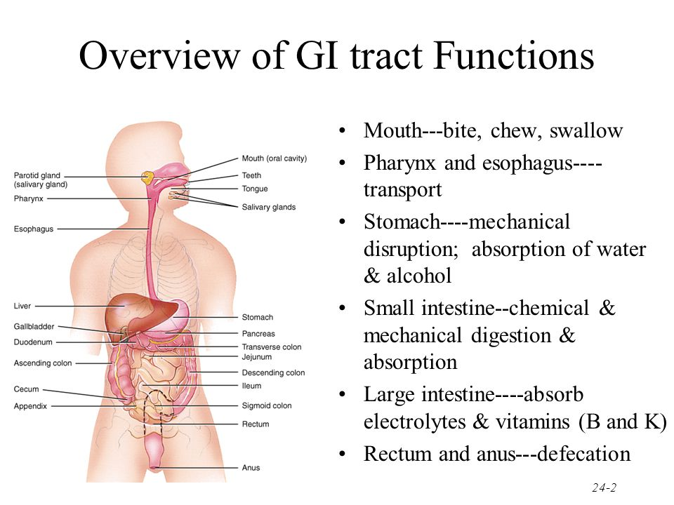 Chapter 24 The Digestive System - ppt video online download