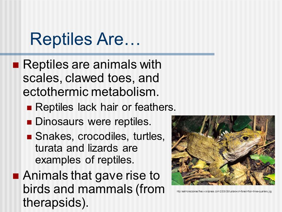 Reptiles Are… Reptiles are animals with scales, clawed toes, and ectothermic metabolism. Reptiles lack hair or feathers.