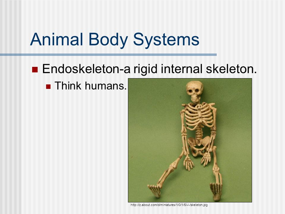 Animal Body Systems Endoskeleton-a rigid internal skeleton.