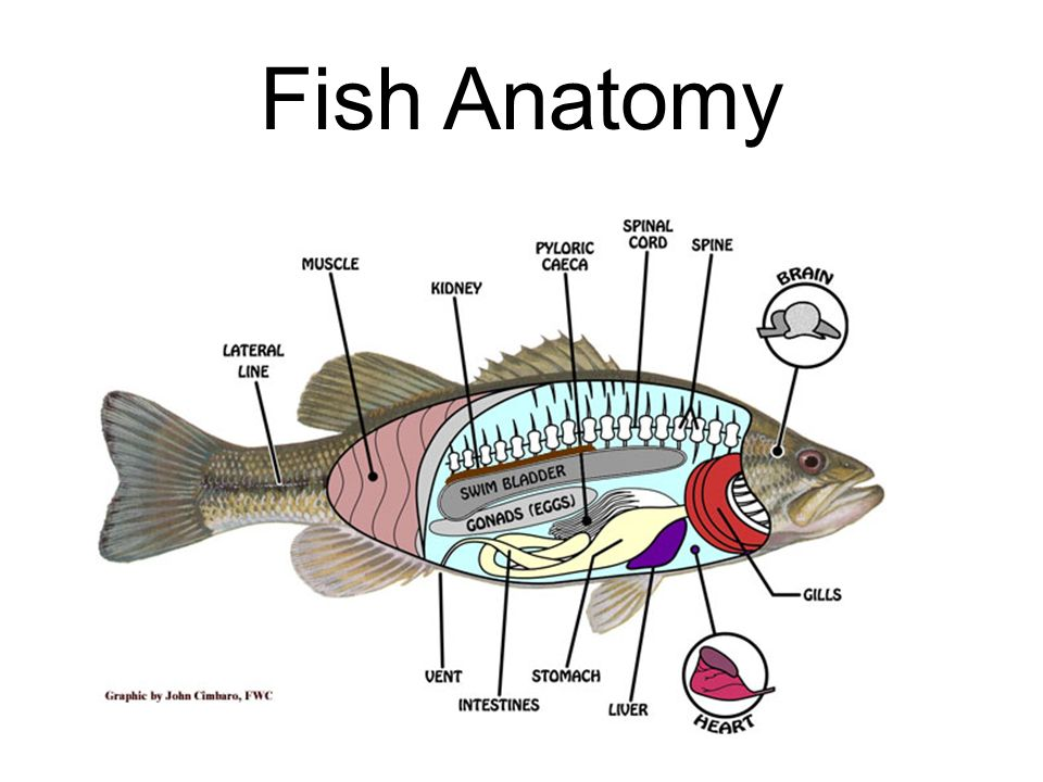Amazing Fish Kidney Anatomy Inspiration - Anatomy And Physiology ...
