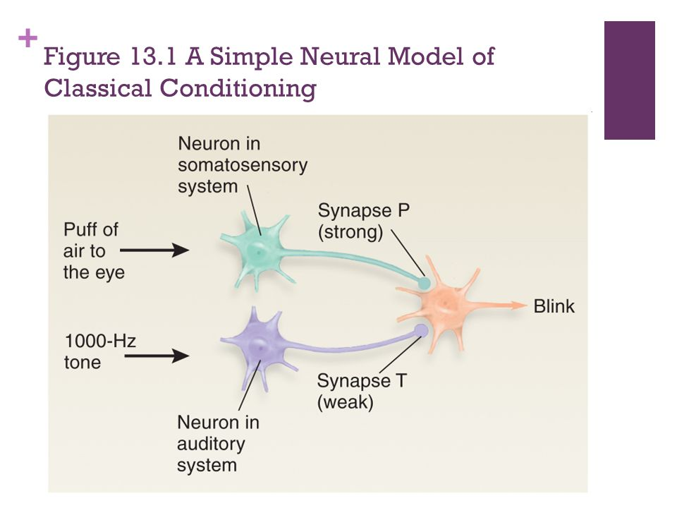 Figure 13.1 A Simple Neural Model of Classical Conditioning
