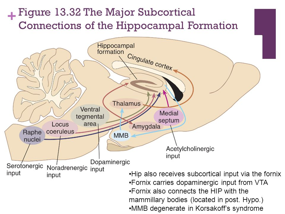 Figure 13.32 The Major Subcortical Connections of the Hippocampal Formation